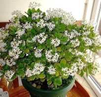 Как заставить цвести денежное дерево в домашних условиях