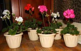 Можно ли пересаживать пеларгонию во время цветения
