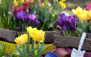 Можно ли высаживать тюльпаны весной