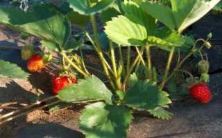 Как защитить клубнику от гнили в дождливое лето