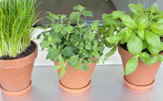 Можно ли выращивать зелень зимой дома