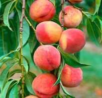 Как размножить персик черенками