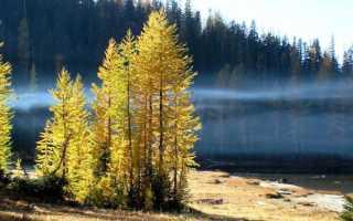 Какое дерево лиственница хвойное или лиственное дерево