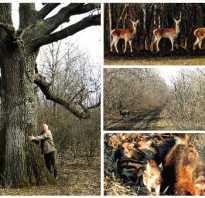 Какой у дуба корень