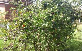Как пересадить черноплодную рябину