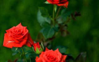 Роза кардана как обрезать