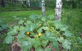 Можно ли отрывать листья у кабачков