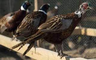 Как содержать фазанов в домашних условиях зимой