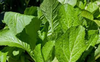 Можно ли употреблять листья горчицы в пищу