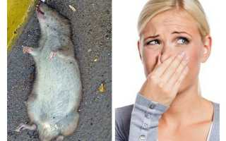 Что делать если под полом сдохла крыса