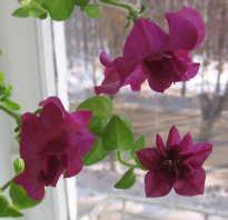 Как сохранить петунии зимой в домашних условиях