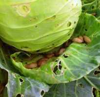 Как спасти капусту от улиток