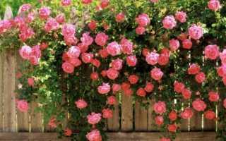 Как определить сорт розы по внешним признакам