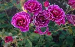 Розы от нью джерси энциклопедия роз часть 3