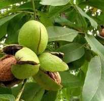 Как ухаживать за ореховым деревом