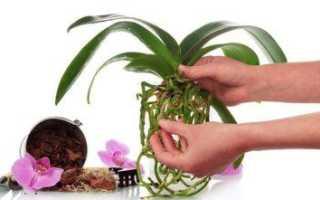 Можно ли поливать орхидею янтарной кислотой