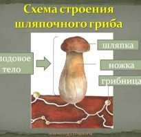 Как размножаются лисички грибы
