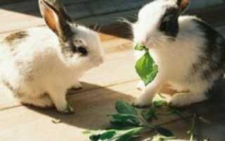 Конский щавель можно ли давать кроликам