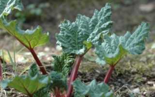 Ревень как выращивать из семян