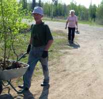 Как пересадить березу из леса на участок