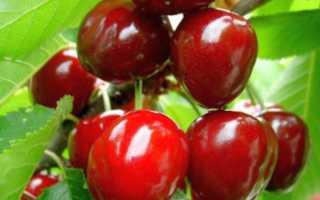 Сорта вишни для урала не дающей поросль