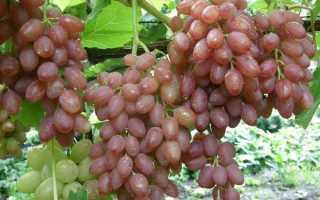 Какой виноград без косточек