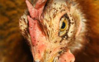 Вши куриные могут ли жить на человеке