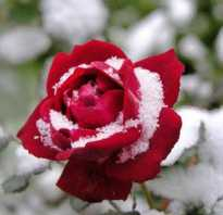 Какая температура опасна для роз