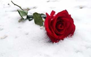 Какие морозы выдерживают розы без укрытия