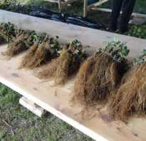 Как вырастить рассаду клубники фриго