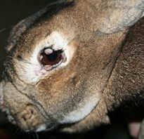 Если кролик заболел миксоматозом можно ли есть мясо