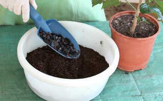 Как из семян вырастить гибискус в домашних условиях