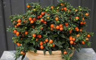 Solanum pseudocapsicum как ухаживать