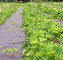 Как уберечь клубнику от сорняков укрывной материал
