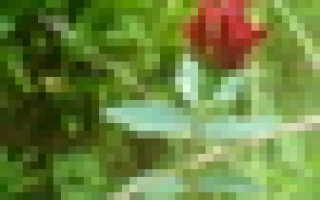 Через сколько дней цветет огурец