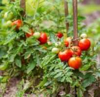 Можно ли огурцы сажать после помидор на следующий год