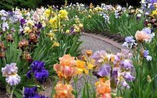 Ирисы с какими цветами сочетаются на клумбе