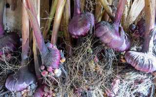 Как хранить луковицы фрезии зимой