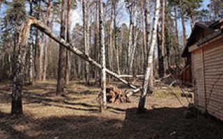 При сильном ветре какое дерево упадет быстрее ель или сосна