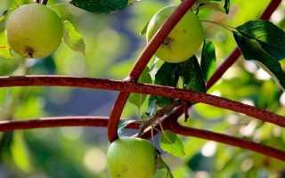 Как вырастить яблоню из семян