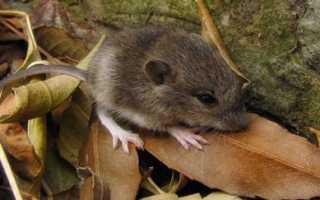 На какую глубину роют норы мыши