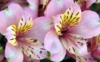 Цветы как ирисы но маленькие