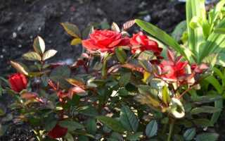 Роза кордана микс как ухаживать в саду на зиму