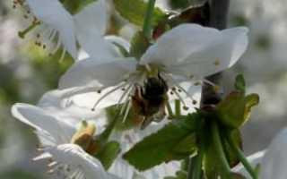 Может ли вишня быть опылителем для черешни