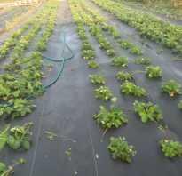 Как сажать клубнику под агроволокно осенью