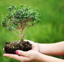 Бонсай японское дерево как выращивать из семян