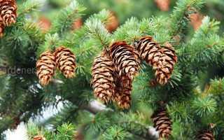 Как вырастить елку из шишки