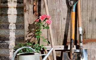 Где сажать розы на солнце или в тени