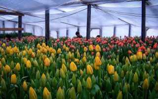 Сорта для выгонки тюльпанов к 8 марта