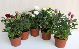 Как оживить розу в горшке если она засохла